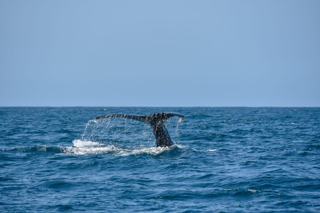 whale tail puerto vallarta