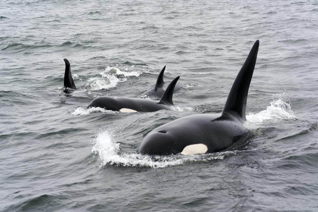 orcas in ocean